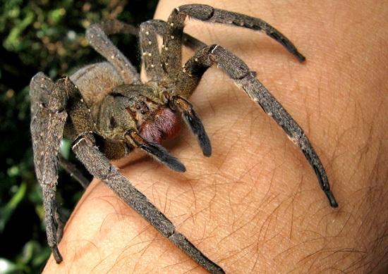 phoneutria_nigriventer-tarantula